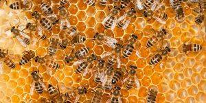 Types of Honey Bees