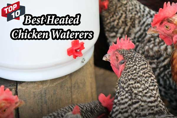 Best Chicken Waterers 2019 – Heated and Automatic Model Reviewed