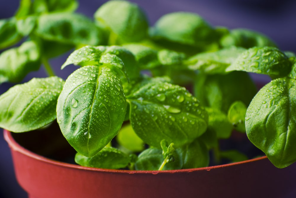 basil substitute for curry leaves